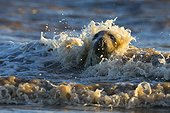 Grey seal (Halichoerus grypus), Seal in the surf, England, Winter