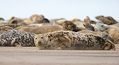 Grey seal (Halichoerus grypus), Seal on the beach, England, Winter