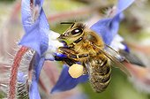 Honey Bee (Apis mellifera) on Borage, 2015 May 12, Northern Vosges Regional Nature Park, France, ranked World Biosphere Reserve by UNESCO, France