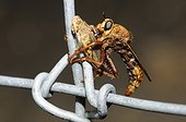 Hornet robberfly (Asilus crabroniformis) eating a grasshopper on a fence, 2015 August 08, Northern Vosges Regional Nature Park, declared a World Biosphere Reserve by UNESCO, France