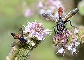 Cyclindromies (Cylindromyia pusilla) et (Cylindromyia bicolor) sur menthe, 2015 09 09, Parc naturel régional des Vosges du Nord, classé Réserve mondiale de Biosphère par l'UNESCO, France
