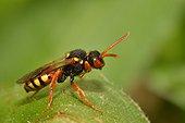 Andrena gravida's parasite, Nomad Bee (Nomada bifasciata), 2015 May 12, Northern Vosges Regional Nature Park, declared a World Biosphere Reserve by UNESCO, France