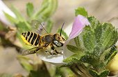 Mason Bee (Osmia pilidens) female on Common Restharrow (Ononis repens), 2015 08 08, Northern Vosges Regional Nature Park, France, ranked World Biosphere Reserve by UNESCO, France