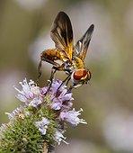 Alophore hémiptère (Phasia hemiptera), 2015 09 09, Parc naturel régional des Vosges du Nord, classé Réserve mondiale de Biosphère par l'UNESCO, France