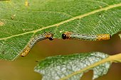 Willow Sawfly  larvae (Pteronus salicis) on Willow, 21 October 2015, Northern Vosges Regional Nature Park, declared a World Biosphere Reserve by UNESCO, France