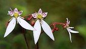 Creeping Saxifrage (Saxifraga stolonifera), 2015 June 16, Alpes