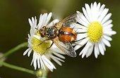 Mouche des chenilles (Tachina fera) sur Vergerette annuelle (Erigeron anuus), 2015 09 10, Parc naturel régional des Vosges du Nord, classé Réserve mondiale de Biosphère par l'UNESCO, France