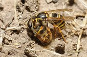 Common Wasp (Vespa vulgaris) capturing a Hoverfly, 2015 July 21, Northern Vosges Regional Nature Park, France, ranked World Biosphere Reserve by UNESCO, France