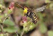 Asian hornet (Vespa velutina) foraging Figwort, 2015 July 16, Brittany, France
