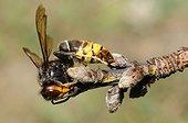 Asian hornet (Vespa velutina) collecting wood fiber, 2015 July 16, Brittany, France