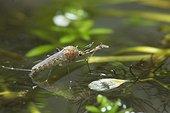 Moustique mâle à peine sorti de sa nymphe, Forêt de la Reine, Lorraine, France