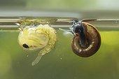 Nymphe aquatique de Moustique à côté d'un Gastéropode aquatique sous la surface, Forêt de la Reine, Lorraine, France