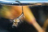 Larve aquatique de Moustique sous la surface, Lorraine, France