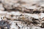 Moustique mâle avec antennes plumeuses, Lorraine, France