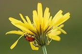 Coccinelle à sept points sur fleur jaune, France