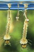 Larves aquatiques de moustique sous la surface, France