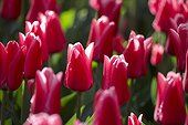 Tulipa Capri Striped,