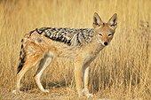 Black-backed jackal, Etosha, Namibia