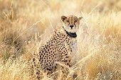 Cheetah with radio collar in savanna, Namibia