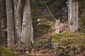 Eurasian lynx sitting in forest, Bayerischer Wald Park; Germany