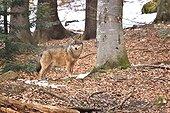 Grey wolf in forest, Bayerischer Wald Park, Germany