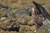 Madagascan fish eagle facing a Duck on peebles shore, Nosy be, Madagascar