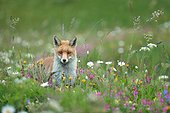 Red fox in a flowering meadow