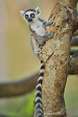 Ring-tailed lemur on a trunk, Madagascar
