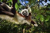 Verreaux's sifaka moving in trees, Madagascar