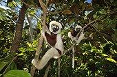 Verreaux's sifaka in trees, Madagascar