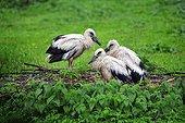 White Stork Chicks at nest