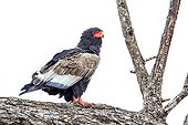 Bateleur (Terathopius ecaudatus) in Kruger National park, South Africa