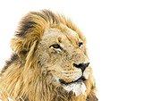 Lion (Panthera leo) in Kruger National park, South Africa