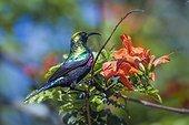 Mariqua Sunbird (Cinnyris mariquensis) in Kruger National park, South Africa