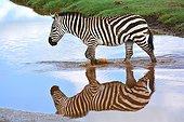 Tanzania. Ngorongoro Conservation Area. Zebra crossing a river in Ndutu.