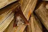 Tanzania. Birdwatching. Fruit bat.