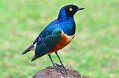 Tanzania. Superb starling (Lamprotornis superbus)