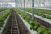 Pickles culture in hydroponics room. Lufa Farms. Montreal. Province of Quebec. Canada