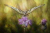 Her Majesty Podalirius - butterfly on a wild flower