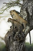 Love in the savannah - Mother and son of leopard on a tree