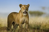The look of the lioness - Lioness wathcing for a prey