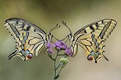 Two butterflies on a flower - Two Papilio machaon on a flower