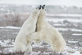 Hug me - two polar bear hugginh during a fight