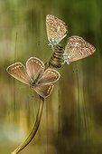 Three butterflies - Three little butterflies