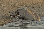 Coming to drink it Black Rhino who stumbled into a cavity and tipped into the water point trying to escape.