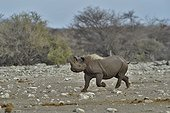 Black Rhino who managed to repel the attack of three lions.
