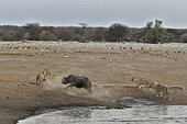 This Black Rhino has stumbled into a cavity and tipped into the water point. After many difficulties, given the sheer submerged banks, he managed to climb out of the water. Three Lions took advantage of this opportunity to get close and attack it.