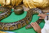 The pagoda snakes to Paleik in central Myanmar is home to a Buddha statue surrounded by pythons. Every day dozens of pilgrims flock to deposit offerings and will donate hoping to curry favor.