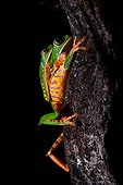 Amplexus of Tiger-striped leaf frog, Barred leaf frog or tiger leg monkey tree frog (Phyllomedusa tomopterna) during the breeding season - Kaw Mountain - French Guiana