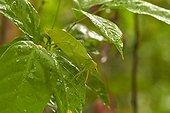 Tropical leaf Grasshopper - Kaw Mountain - French Guiana